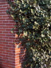 English ivy on a brick wall