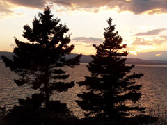two silhouetted fir trees