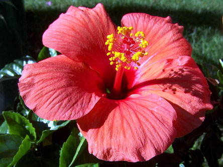free hibiscus photo
